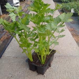 Sedano in vassoio da 4 piante