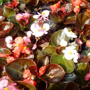 Begonia (begonietta) vassoio da 12 pz