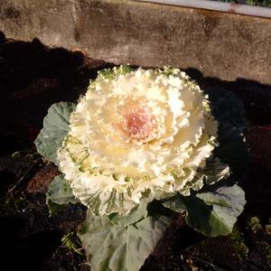 Brassica ornamentale