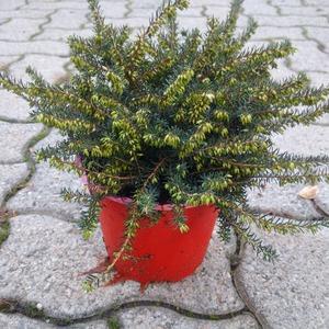 Erica carnea perenne