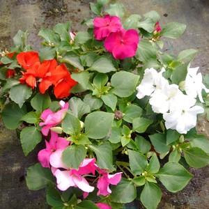 Impatiens walleriana (fior di vetro) in vassoio da 12 piante