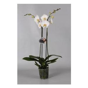 Orchidea phalenopsis 2 rami
