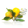 018  essenza limone